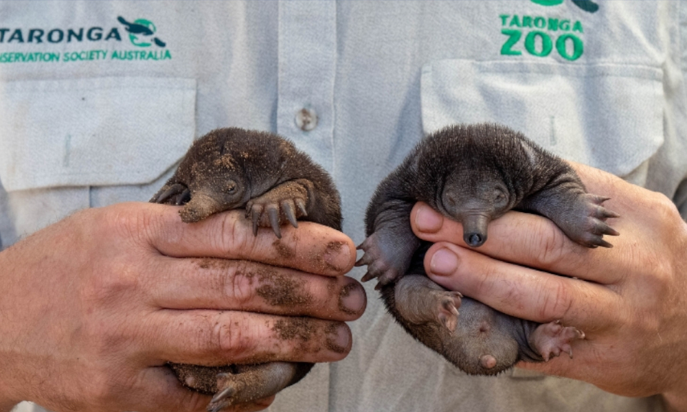 echidna puggles stock image