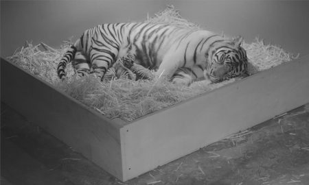 First time mother Kartika gives birth to three Sumatran tigers at Taronga Zoo